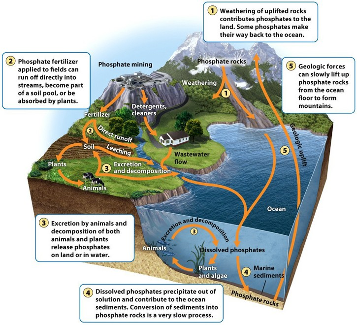 the carbon phosphorus and nitrogen cycles discuss how humans impact each cycle The global water and nitrogen cycles  impact of sea level rise on low-lying  nitrogen, or carbon the hydrological cycle is influenced or controlled by.